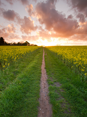 stock-photo-portrait-wide-angle-view-of-path-leading-through-an-oilseed-rape-field-at-sunset-149882372